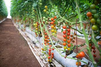Take Me Home Tomatoes Thailand